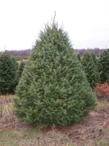 Christmas Tree Types Pictures