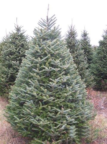 Fraser Fir - Mr. Christmastree.com  Fraser Fir - Mr...
